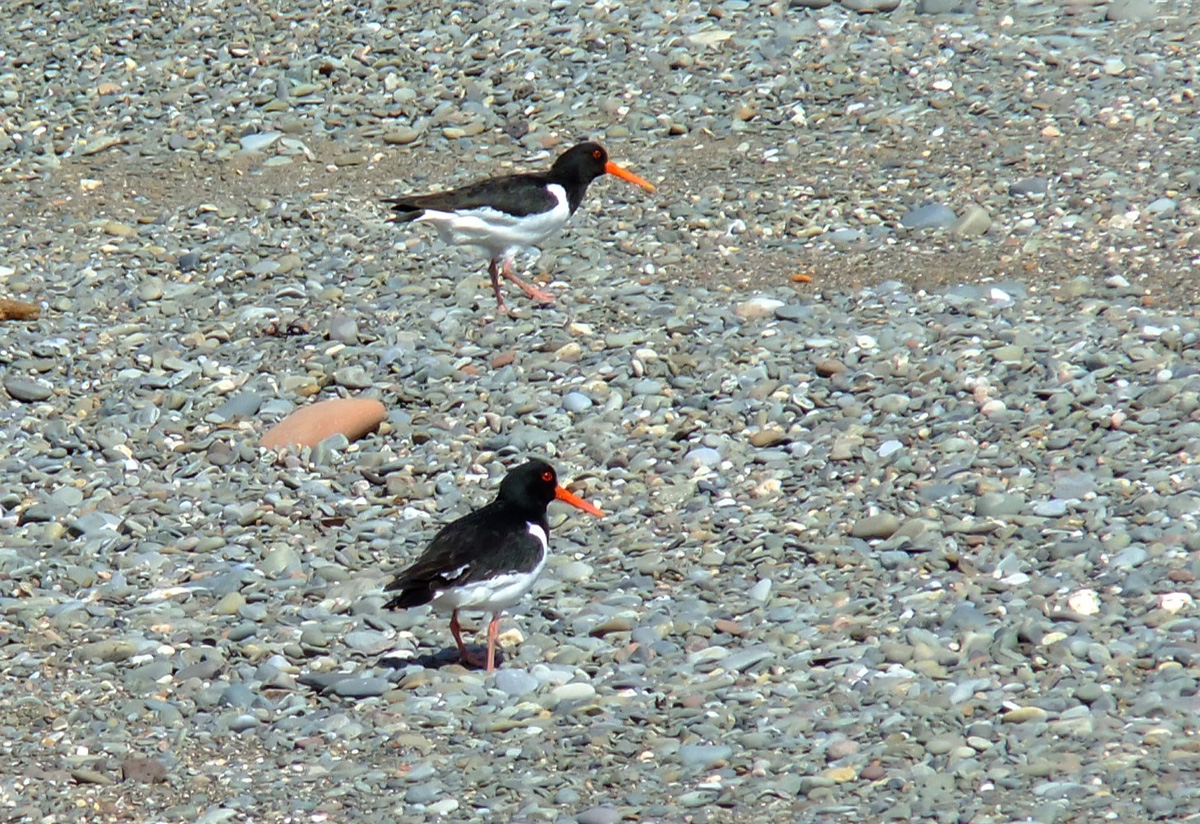 Oyster Catchers at Allonby
